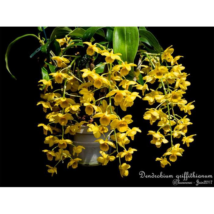 Дендробиум (Griffithianum уценка)