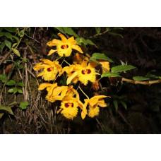 Den. Hookerianum 2,5