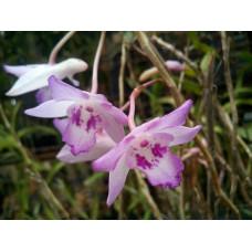 Den. Lancifolium