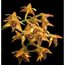 Den. Macrophyllum var. Ternatense