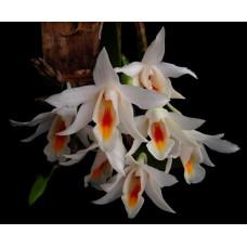 Den. Margaritaceum