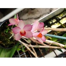 Den. Mohlianum x Pseudoglomeratum