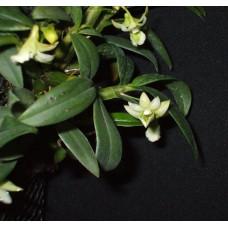Den. Oligophyllum 1,7