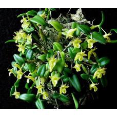 Den. Pachyphyllum
