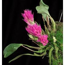 Den. Petiolatum 1,7