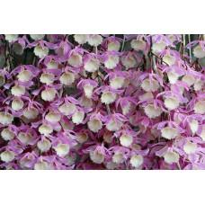 Den. Pierardii близкие к цветению