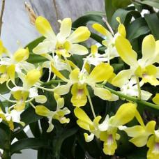 Den. Pof 58 Yellow Fragrant