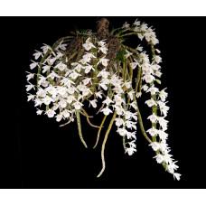 Den. Primulinum alba