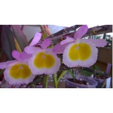 Den. Primulinum 2,5