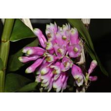 Den. Purpureum x Smilliae