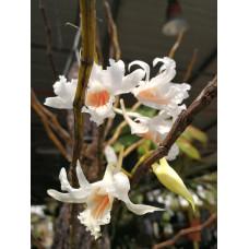 Den. Roseiodorum