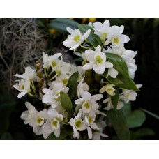 Den. Spring Jewel Miki