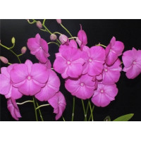 Den. Thailand Stripe x Dendrobium Classic Gem