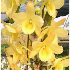 Den. Yellow Ribbon Delight