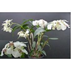 Den. Eximium x Rhodostictum