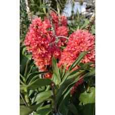 Dendrobium x Usitae Red Coral