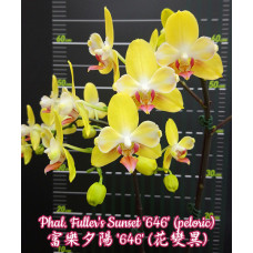 Phal. Fullers Sunset 646 бабулетка