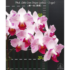Phal. Little Gem Stripes бабочка 1,7