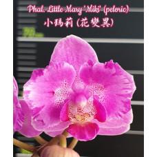 Phal. Little Mary Miki бабочка