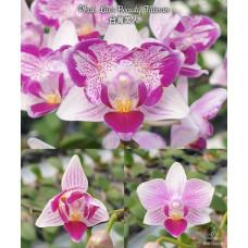 Phal. Lius Beauty Taiwan бабочка