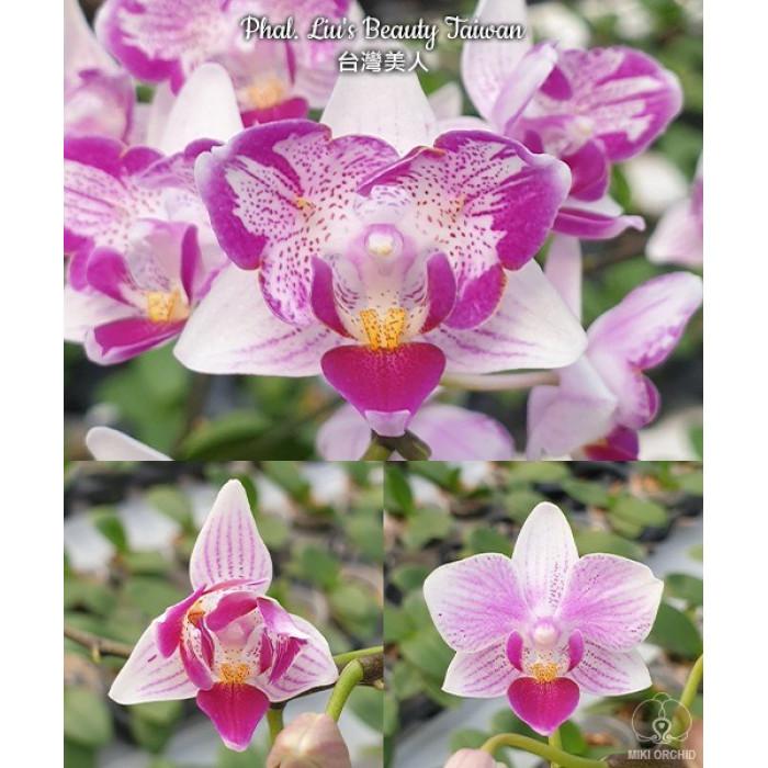 Фаленопсис Льюис Бьюти Тайвань (Lius Beauty Taiwan бабочка)