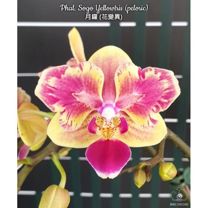 Phal. Sogo Yellowtris бабочка