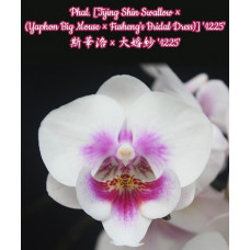 Phal. (Tying Shin Swallow × (Yaphon Big Mouse × Fushengs Bridal Dress)) 1225 big lip