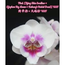 Phal. (Tying Shin Swallow × (Yaphon Big Mouse × Fushengs Bridal Dress)) 1225 big lip