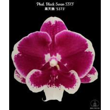 Phal. Black Swan 5373 big lip