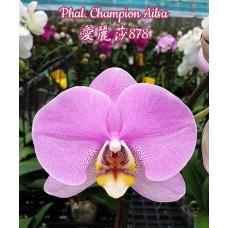 Phal. Champion Ailsa