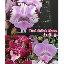 Phal. Fullers Master big lip