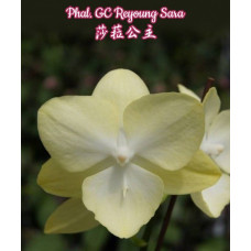 Phal. GC Reyoung Sara big lip 1,7