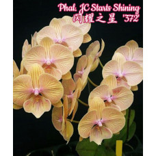 Phal. JC Stars Shining 372 big lip 1,7