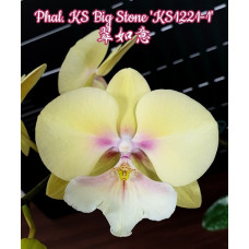 Phal. KS Big Stone KS1221-1 big lip