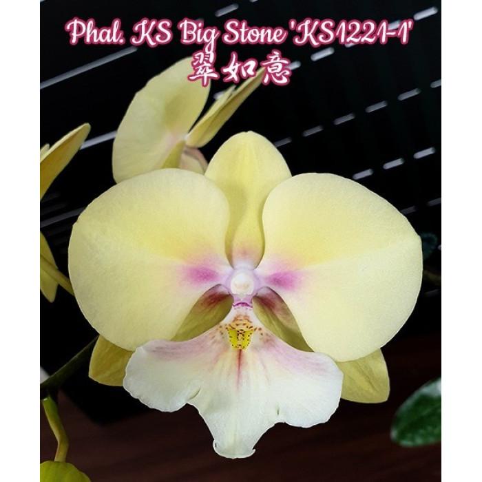 Фаленопсис КС Биг Стоун КС1221-1 (KS Big Stone KS1221-1 big lip)