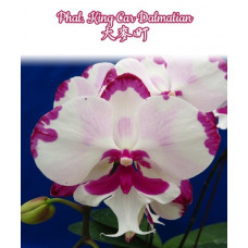 Phal. King Car Dalmatian big lip уценка
