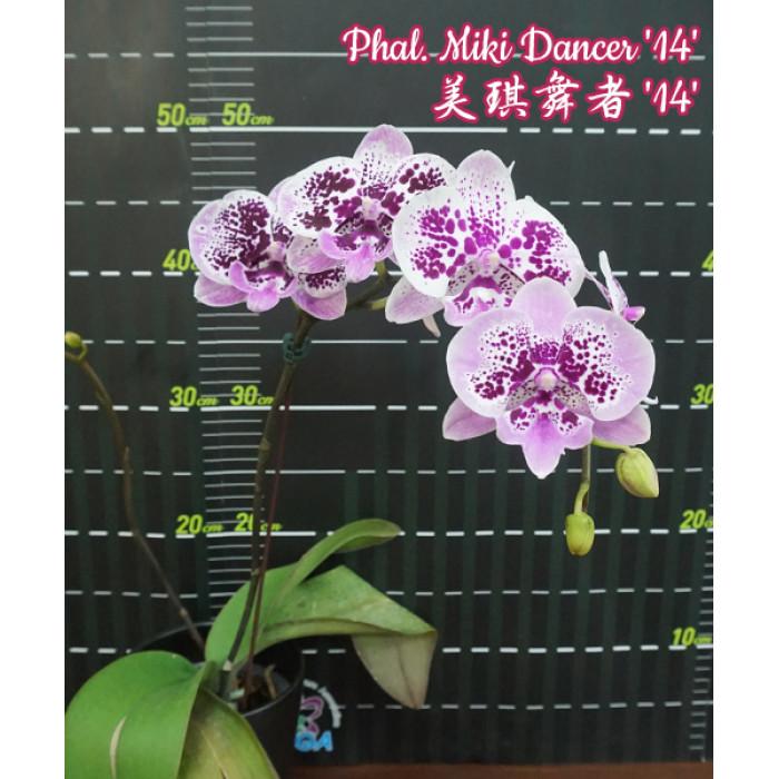 Phal. Miki Dancer 14 big lip