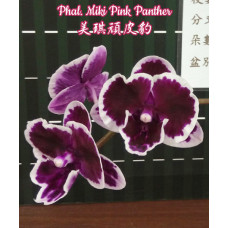 Phal. Miki Pink Panther big lip