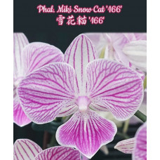 Phal. Miki Snow Cat 166 big lip