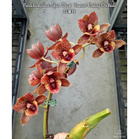 Fred. After Dark Sunset Valley Orchids