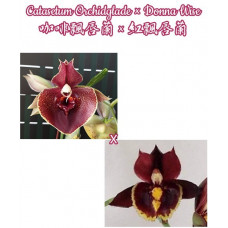 Ctsm. Orchidglade × Donna Wise