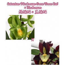 Ctsm. Pileabrosum Green Green Bat x Tenebrosum