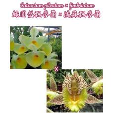 Ctsm. Pileatum × Fimbriatum