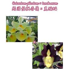 Ctsm. Pileatum × Tenebrosum