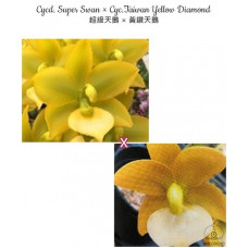 Cyc. Super Swan × Taiwan Yellow Diamond