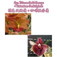 Cyc. Taiwan Gold Orange × Ctsm. Orchidglade