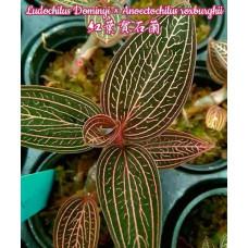 Ludochilus Dominyi × Anoectochilus Roxburghii