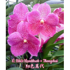 V. Bitzs Heartthrob × Thongchai