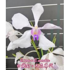 V. Teres × Coerulea