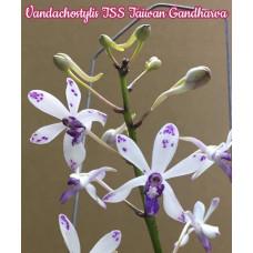 Vandachostylis TSS Taiwan Gandharva